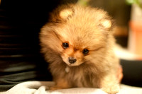 Dolly the pomeranian